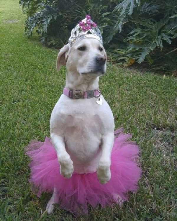 Perro disfrazado de bailarina