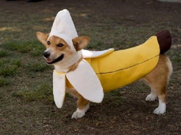 Perro disfrazado de plátano